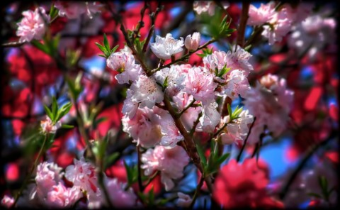 Red, White, and Pink Cherry Blossoms