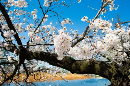photo of Cherry Blossoms at Ueno Park
