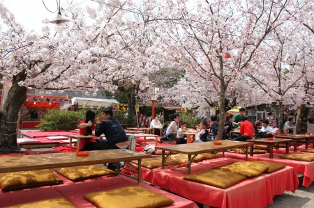 photo of Cherry Blossoms at Maruyama Park